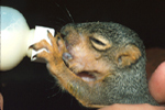 FOX SQUIRREL BABY DRINKING FROM BOTTLE