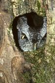 EASTERN SCREECH OWL IN TREE CAVITY