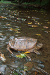 SNAPPING TURTLE IN STREAM