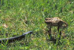AMERICAN TOAD DEFENSE FROM BLACK RAT SNAKE