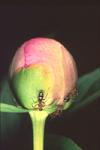 RED ANTS ON PEONY FLOWER BUD