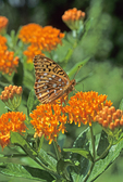 GREAT SPANGLED FRITILLARY BUTTERFLY ON BUTTERFLY MILKWEED