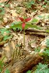WAKE ROBIN or RED TRILLIUM