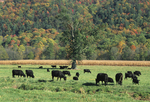 BLACK ANGUS COWS IN PASTURE