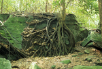 TREE ROOTS GROWING OVER ROCK