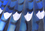 BLUE JAY WING FEATHERS