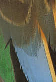 CINNAMON TEAL WING FEATHERS