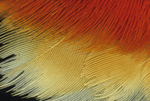 RED-WINGED BLACKBIRD WING PATCH FEATHERS