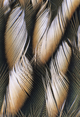 ROADRUNNER WING FEATHERS