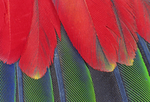 WHITE-FRONTED AMAZON PARROT WING