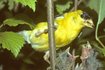 AMERICAN GOLDFINCH MALE AT NEST FEEDING BABIES