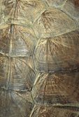 COMMON SNAPPING TURTLE SHELL PATTERN