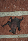BIG BROWN BAT BABY