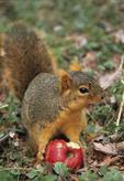 EASTERN FOX SQUIRREL EATING APPLE