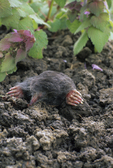 HAIRY-TAILED MOLE IN GROUND