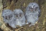 ONE-WEEK-OLD EASTERN SCREECH OWLS