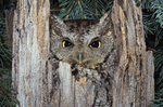 EASTERN SCREECH OWL IN TREE STUMP
