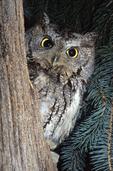 EASTERN SCREECH OWL PEEKING OUT
