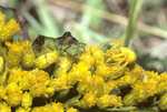 ASSASSIN BUG AND FLOWER CRAB SPIDER FACE-TO-FACE