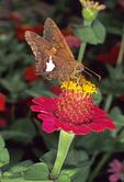 SILVER-SPOTTED SKIPPER BUTTERFLY FEEDING ON ZINNIA FLOWER