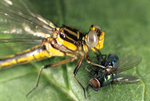 LANCET CLUBTAIL DRAGONFLY WITH GREEN BOTTLE FLY PREY