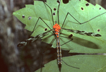 CRANEFLY WITH PARASITIC MITES