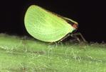 ACANALONID PLANTHOPPER