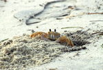 GHOST CRAB DIGGING HOLE