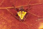 ARROWHEAD SPIDER CARAPACE