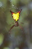 ARROWSHAPED SPIDER IN WEB