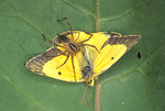 FUNNEL WEAVER SPIDER WITH SULPHUR BUTTERFLY PREY