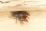 JUMPING SPIDER WITH CELLAR SPIDER PREY
