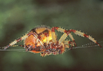 ORB WEAVER SPIDER WITH SILK COMING FROM SPINNERETS