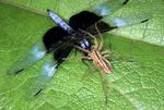 RABID WOLF SPIDER WITH DRAGONFLY PREY