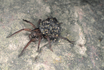 WOLF SPIDER CARRYING BABIES ON BACK