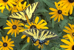 TIGER SWALLOWTAIL BUTTERFLY ON BLACK EYED SUSAN