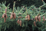 WHITE SPRUCE TREE BRANCH WITH CONES