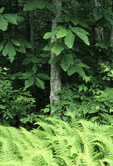CUCUMBER MAGNOLIA TREE AND HAY-SCENTED FERNS