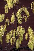 SUGAR MAPLE TREE FLOWERS