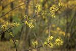WITCH-HAZEL TREE FLOWERS