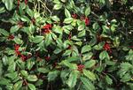 AMERICAN HOLLY TREE BERRIES