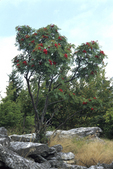 AMERICAN MOUNTAINASH TREE WITH BERRIES