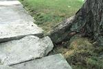 TREE ROOT LIFTING SIDEWALK