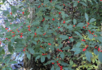 WINTERBERRY HOLLY TREE BERRIES