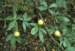 YELLOW BUCKEYE TREE WITH FRUIT