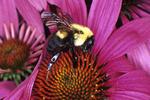 BUMBLE BEE NECTARING ON PURPLE CONEFLOWER