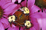 THREE BUMBLE BEES NECTARING ON PURPLE CONEFLOWER