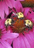 THREE BUMBLE BEES NECTARING ON PURPLE CONEFLOWER