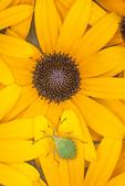 GREEN BUG NYMPH ON BLACK-EYED SUSAN FLOWER