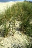 BEACH GRASSES GROWING ON BARRIER DUNE WITH ATLANTIC OCEAN IN BACKGROUND